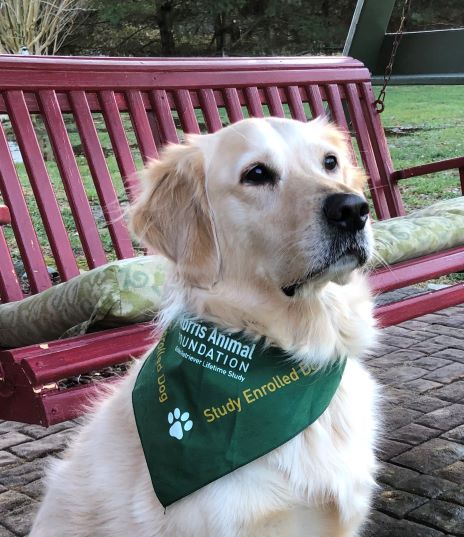 BLOG FROM THE DOG:  SUGAR TELLS US ABOUT HER ROLE IN THE GOLDEN RETRIEVER LIFETIME STUDY